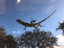 lizard belly and blue sky royalty free stock photos