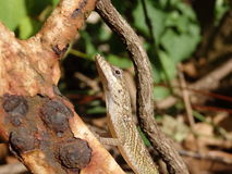 A lizard on Bequia Stock Photography