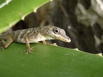 A lizard on Bequia Royalty Free Stock Images