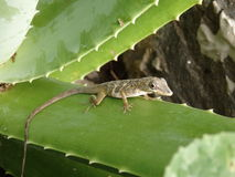 A lizard on Bequia Royalty Free Stock Image