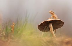 The Lizard and the big mushroom Stock Image