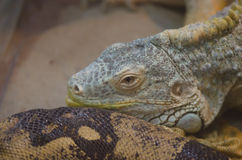 Lizard. Big lizard in the zoo Stock Photography