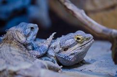 Lizard. Big lizard in the zoo Stock Image