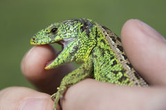 Lizard bites. A mans finger Stock Photo