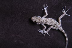 Lizard in black background Royalty Free Stock Photo