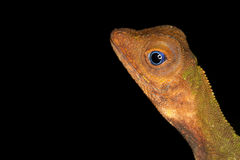 Lizard on black Royalty Free Stock Photography