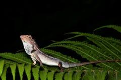 Lizard black background Stock Photo