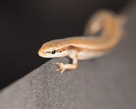 Lizard on black Stock Photos