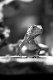 Lizard (black and white) Stock Image