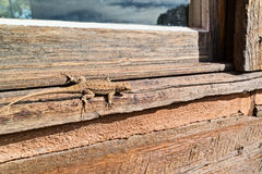 Lizard blending in Royalty Free Stock Photography