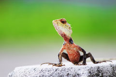 Lizard. (bloodsucker)waiting for its prey Royalty Free Stock Images
