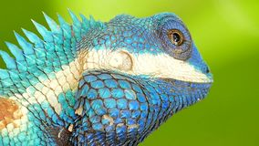 Lizard Blue-crested Lizard on the tree. stock footage
