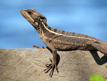 Lizard on a board stock images