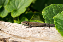 Lizard on a board Royalty Free Stock Images