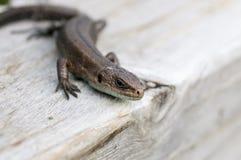 Lizard on a board Stock Photo