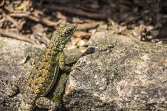 Lizard in the Botanical Park - Sao Paulo Royalty Free Stock Photo