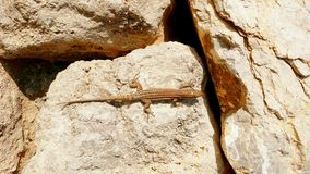 Lizard on boulders closeup view royalty free stock photo
