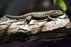 Lizard on a branch Royalty Free Stock Photos
