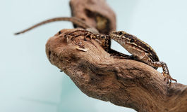 Lizard on branch. Camouflaged brown lizard on branch, studio background Stock Photos