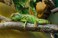 Lizard on branch Stock Photos