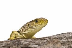 A lizard on a branch. Stock Photography