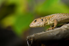 Lizard on a branch Royalty Free Stock Images