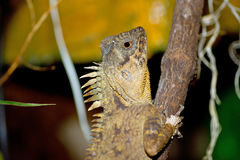 Lizard on a branch. Acanthosaura Stock Photo