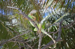 Lizard on a branch royalty free stock photography