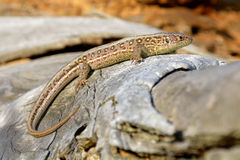 Lizard on branch Royalty Free Stock Photos