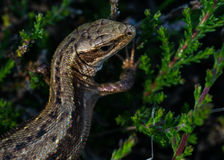 Lizard on a branch Royalty Free Stock Photo