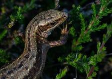 Lizard on a branch. Viviparous lizard on a green branch Royalty Free Stock Photo