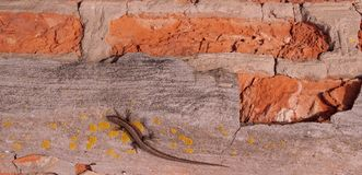 Lizard on a brick wall - background, texture royalty free stock images