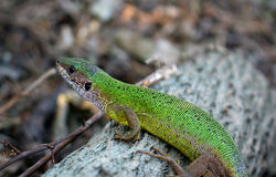Lizard. Bright green Lacerta viridis female lizzard on a tree Royalty Free Stock Photos