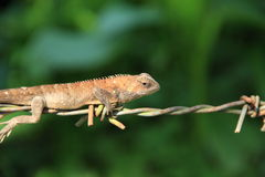Lizard. Stock Photos