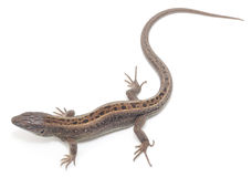 Lizard. Brown lizard on white background stock photo