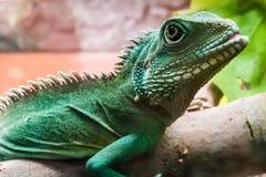 Lizard on bruch in terrarium Stock Images