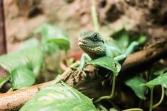 Lizard on bruch in terrarium Stock Image