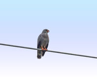 Lizard Buzzard calling Royalty Free Stock Photo