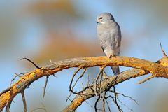 Lizard buzzard, Kaupifalco monogrammicus, birds of prey sitting on the branch with blue sky. Wildlife scene from African nature. R Stock Image