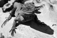 Lizard BW. Lizard australia BW sitting on Grey sand stone heating sunny day cold-blooded beast Stock Photos