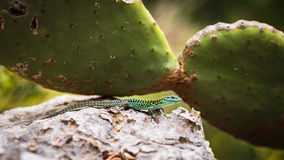 Lizard with cactus Stock Image