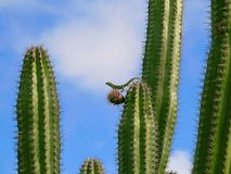 Lizard on Cactus royalty free stock image