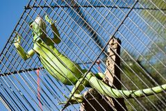 Lizard in a cage. A green lizard hanging onto the side of a cage stock image