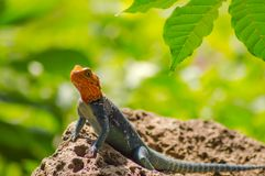 Lizard called agame settlers in the savannah of Amboseli Park in. Kenya Stock Image