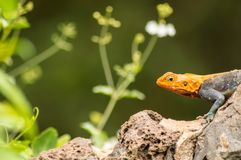 Lizard called agame settlers in the savannah of Amboseli Park in. Kenya Stock Photos