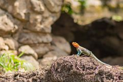 Lizard called agame settlers in the savannah. Of Amboseli Park in Kenya Stock Photos