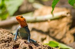 Lizard called agame settlers in the savannah of Amboseli Park in. Kenya Royalty Free Stock Photos