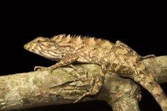 Lizard, Calotes sp, Agamidae, Gumti, Tripura , India. Close-up of Lizard, Calotes sp, Agamidae, Gumti, Tripura state of India stock photography