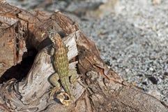Lizard camouflage. Stock Image