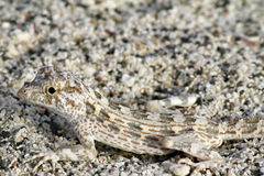 Lizard Camouflage stock photography